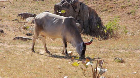 indicus : Indian cows graze in the meadow