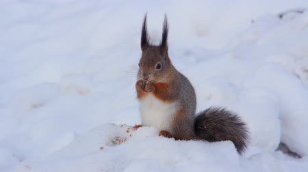 forest animals : Squirrel in the winter forest. Stock Footage