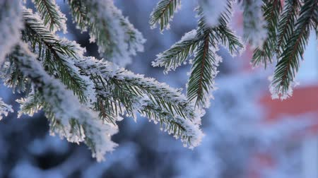 pinho : Snow on the pine branch