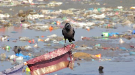 corvus frugilegus : Crow in the garbage Stock Footage