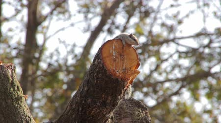 palmarum : Indian palm squirrel