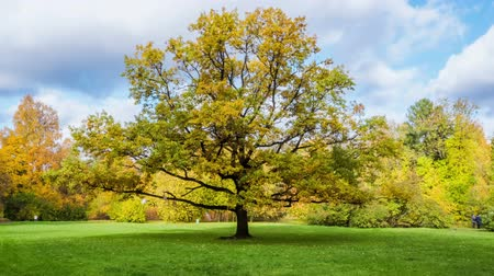 paisagens : Oak tree on a Sunny autumn day. timelapse Stock Footage