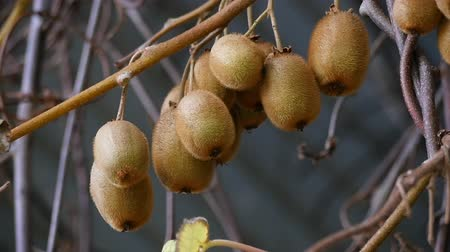 kivi : Kiwi fruit on the plant Stok Video