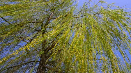 söğüt : The branches of a Willow tree on a Sunny day