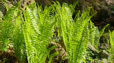 ferns : Fern near the mountain river