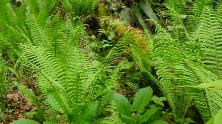 ferns : Fern in spring forest