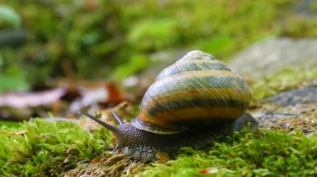caracol : Big Snail in the Tropical Forest