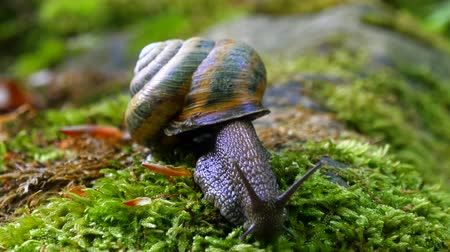 měkkýš : Big Snail in the Tropical Forest