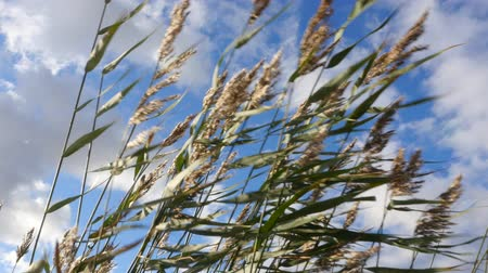 gust of wind : Strong wind in the reeds Stock Footage