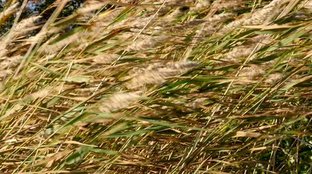 Strong wind in the reeds Стоковые видеозаписи