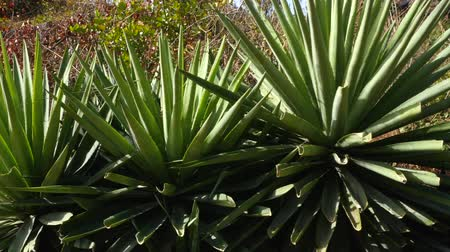 cacto : Agave plant in a sunny day