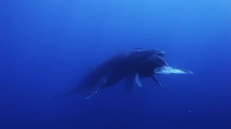 кит : Humpback whales, megaptera novaeangliae mother and young calf in south pacific ocean in the blue sea water swim around the divers. Amazing underwater shooting.