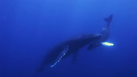 Humpback whales, megaptera novaeangliae mother and young calf in south pacific ocean in the blue sea water swim around the divers. Amazing underwater shooting.