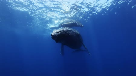 whale : Humpback whales, megaptera novaeangliae mother and young calf in south pacific ocean in the blue sea water swim around the divers. Amazing underwater shooting.