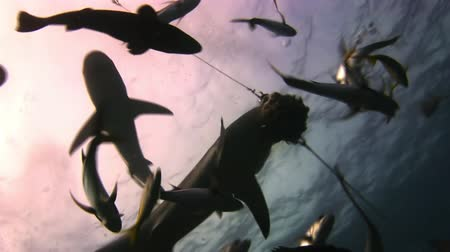 нападение : Grey reef sharks and fish attack food. The divers, sharks, fish and blue. Amazing, beautiful underwater world Bahamas and the life of its inhabitants, creatures and diving, travels with them.