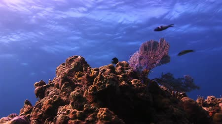 fiji : Beautiful coral on a background of blue sea surface in Bahamas. Amazing, beautiful underwater world Bahamas and the life of its inhabitants, creatures and diving, travels with them. Stock Footage