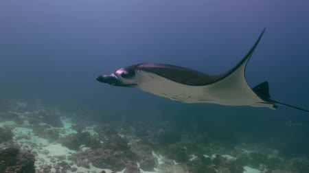 Mantas Ray swim in thick blue sea in search of food. Amazing, beautiful underwater world Bali Indonesia and  life of its inhabitants, creatures and diving, travels with them.