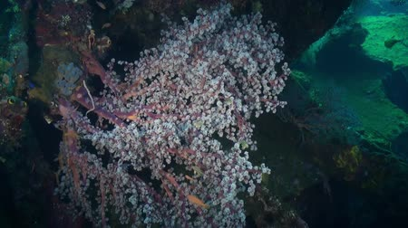 claro : The red soft coral on the ocean floor and fishes. Amazing, beautiful underwater world Bali Indonesia and  life of its inhabitants, creatures and diving, travels with them. Vídeos