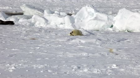 pecsét : Cute Newborn Seal Pup On Ice In Search Of Mom. A Family Polar Arctic Harp Sea Grey Calf Seal With Newborn Baby Cute Pups On Ice Fields Of White Sea. Saving Seals! Eco-tourists guard fluffy wonders!