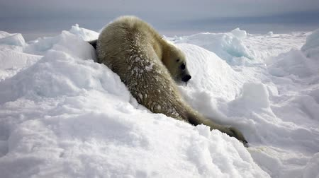 schleswig : Newborn Seal Pup In Ice And Snow In Search Of Mom. A Family Polar Arctic Harp Sea Grey Calf Seal With Newborn Baby Cute Pups On Ice Fields Of White Sea. Saving Seals! Eco-tourists guard fluffy wonders