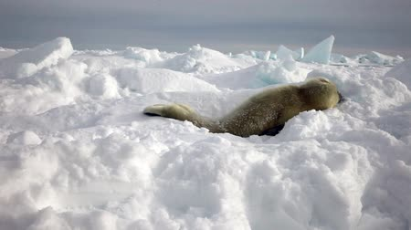 schleswig : Cute Newborn Seal Pup On Ice Looking at the camera. Family Polar Arctic Harp Sea Grey Calf Seal With Newborn Baby Cute Pups On Ice Fields Of White Sea. Saving Seals! Eco-tourists guard fluffy wonders! Stock Footage
