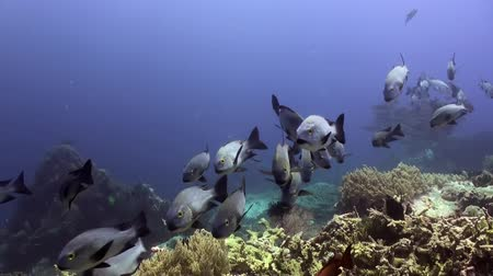 vida selvagem : School of blue fish in the clean sea reef. Amazing, beautiful underwater world Bali Indonesia and  life of its inhabitants, creatures and diving, travels with them.  Wonderful experience in sea