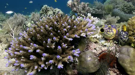 raso : Underwater Hard corals on sea ocean. School fish. Amazing, beautiful underwater world Bali Indonesia and  life of its inhabitants, creatures and diving, travels with them. Wonderful experience in sea