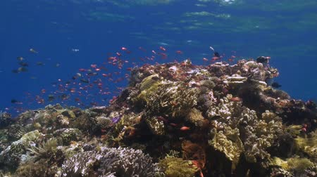 reef life : The school of colorful fish on the reef in ocean. Amazing, beautiful underwater world Bali Indonesia and  life of its inhabitants, creatures and diving, travels with them. Wonderful experience in sea