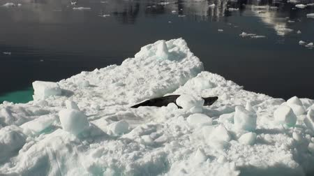 waddling : Crying Leopard Seal float sleeping on an Iceberg in Antarctica. Amazing beautiful views of Nature and landscape of snow, ice and white of Antarctic. Stock Footage