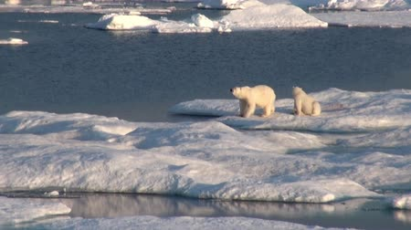 globální oteplování : Mother white polar bear and her cub on cold ice floe in the Arctic near Greenland Iceland and go swimming in search of food on the Sunset. Video shooting from the spacecraft. Dostupné videozáznamy