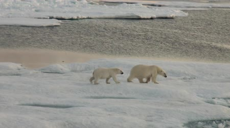 полярный : Mother white polar bear and her cub on cold ice floe in the Arctic near Greenland Iceland and go swimming in search of food on the Sunset. Video shooting from the spacecraft. Стоковые видеозаписи