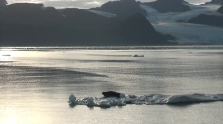 waddling : Crying Leopard Seal float sleeping on an Iceberg in Arctic. Fantastic wonderful amazing video grenland nature iceland. Lovely shooting the life of nature, seaside and mountains. Global warming.