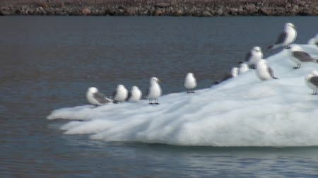 waddling : Seagulls sit and float on an iceberg in the Arctic. Fantastic wonderful amazing video grenland nature iceland. Lovely shooting the life of nature, seaside and mountains. Global warming.