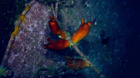 tengeri élet : Sandy Red Seabed With Colorful Sponges japan Sea. Amazing underwater world and the inhabitants, fish, stars, octopuses and vegetation of the Sea of Japan.