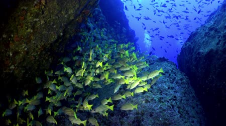 reefscape : Yellow School  goatfish swims over a rocky reef, Caribbean sea Cocos Costa Rica. Underwater landscape, rocky pinnacles, canyons, walls, caves. Amazing  array of marine life ready for exploration.
