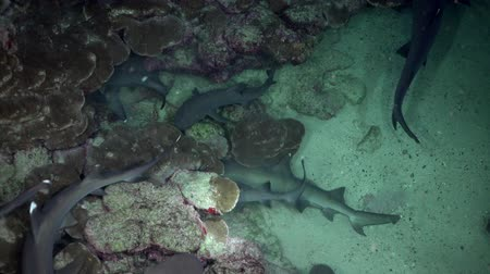 reefscape : Whitetip Reef sharks At Nighth In search of food, Caribbean sea Cocos Costa Rica. Underwater landscape, rocky pinnacles, canyons, walls and caves. Beautiful array of marine life ready for exploration.