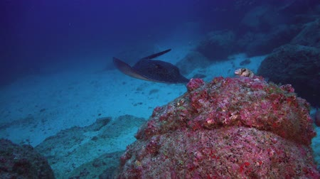 reefscape : Black blotched stingray (Takeniurops myelin) swims over deep, rocky reef in Caribbean Cocos Costa Rica. Underwater landscape, canyons, walls, caves. Amazing  array of marine life ready for exploration