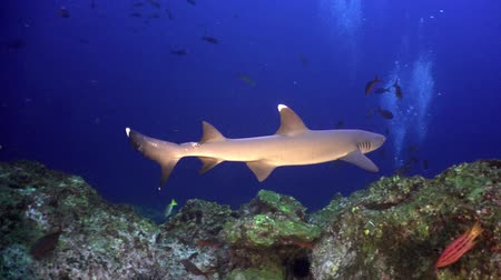 reefscape : Whitetip Reef sharks on rocky reef search food, Caribbean sea Cocos Costa Rica. Underwater landscape, rocky pinnacles, canyons, walls and caves. Beautiful array of marine life ready for exploration.