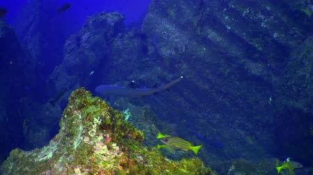 reefscape : School colored fish swims over rocky reef and in blue sea, Caribbean Cocos Costa Rica. Underwater landscape, rocky pinnacles, canyons, walls, caves. Amazing  array of marine life ready for exploration Stock Footage