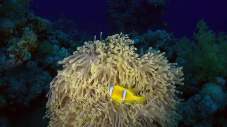 red sea anemonefish : Bright orange anemonefish or clownfish swimmig in Sea Anemone at night. Amazing, beautiful underwater marine sea world Red Sea and life of its inhabitants, creatures and diving, travels.