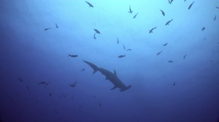 hammerhead shark : Hammerhead Shark swims in blue sea ocean in search of food, Caribbean sea Cocos Costa Rica. Underwater landscape, rocky pinnacles, canyons, walls and caves. Beautiful array of marine life.