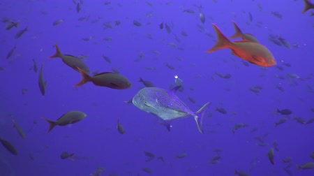 reefscape : School Tuna fish swims over rocky reef and in blue sea, Caribbean Cocos Costa Rica. Underwater landscape, rocky pinnacles, canyons, walls, caves. Amazing  array of marine life ready for exploration. Stock Footage