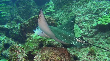 reefscape : Spotted eagle ray (Aetobatis narinari) stingray swims over deep, rocky reef in Caribbean Cocos Costa Rica. Underwater landscape, canyons, caves. Amazing array of marine life ready for exploration Stock Footage