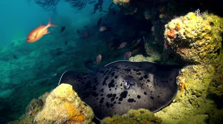reefscape : Black blotched stingray (Takeniurops myelin) swims over deep, rocky reef . Underwater landscape, canyons, walls, caves. Amazing array of marine life ready for exploration