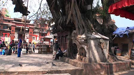 patan : Kathmandu, Nepal - 17 October 2011: Old tree with huge roots sprouted in building on Durbar Square. Stock Footage