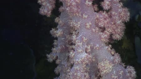 deepsea : Coral underwater in ocean of Philippines. ravel in world of unique colorful beautiful ecosystem nature algae, fish. Inhabitants of deep sea in search of food. Diving. Stock Footage