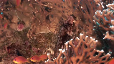 deepsea : School of fish and scorpionfish on background underwater landscape in Red sea. Swimming in world of colorful beautiful world of coral reefs and algae. Inhabitants in search of food. Abyssal diving.