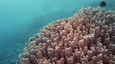 deepsea : Corals in underwater landscape in Red sea. Swimming in world of colorful beautiful world of coral reefs and algae. Inhabitants in search of food. Abyssal diving.