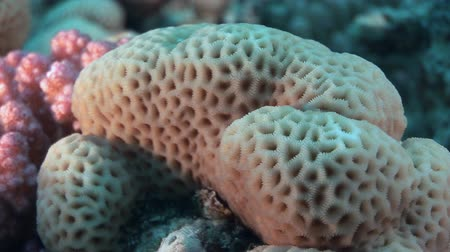 deepsea : Corals in the form of sphere in Red sea. Swimming in world of colorful beautiful world of reefs and algae. Inhabitants in search of food. Abyssal diving. Stock Footage
