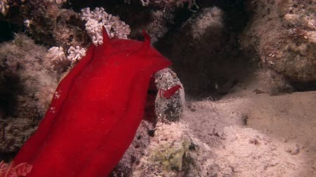 deepsea : Spanish dancer nudibranchs on background underwater marine landscape in Red sea. Swimming in world of colorful beautiful wildlife of reefs and algae. Inhabitants in search of food. Abyssal diving. Stock Footage